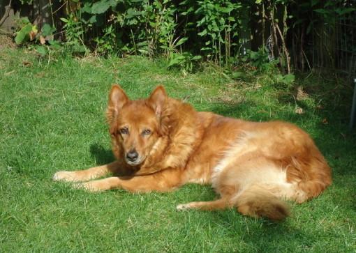 Ein Harzer Fuchs, ein wirklich toller Hund!